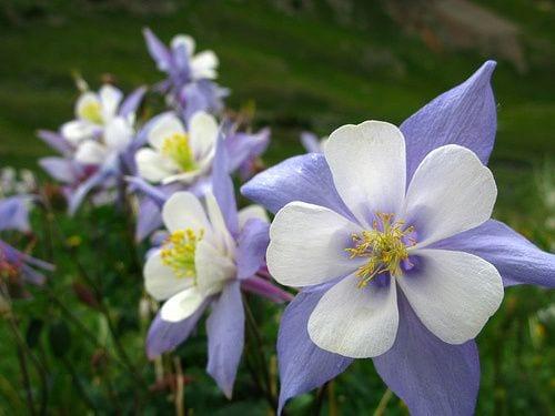 Colorado State Flower - Rocky Mountain Columbine